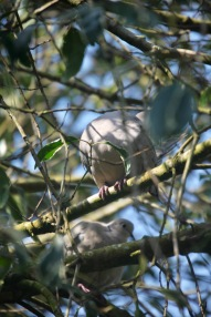 Collared doves 4