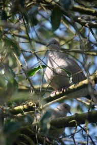 Collared doves 5
