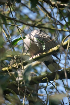 Collared doves 6