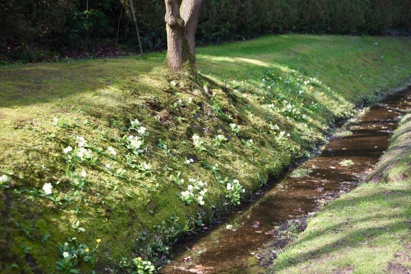 Primroses on bank of stream 2