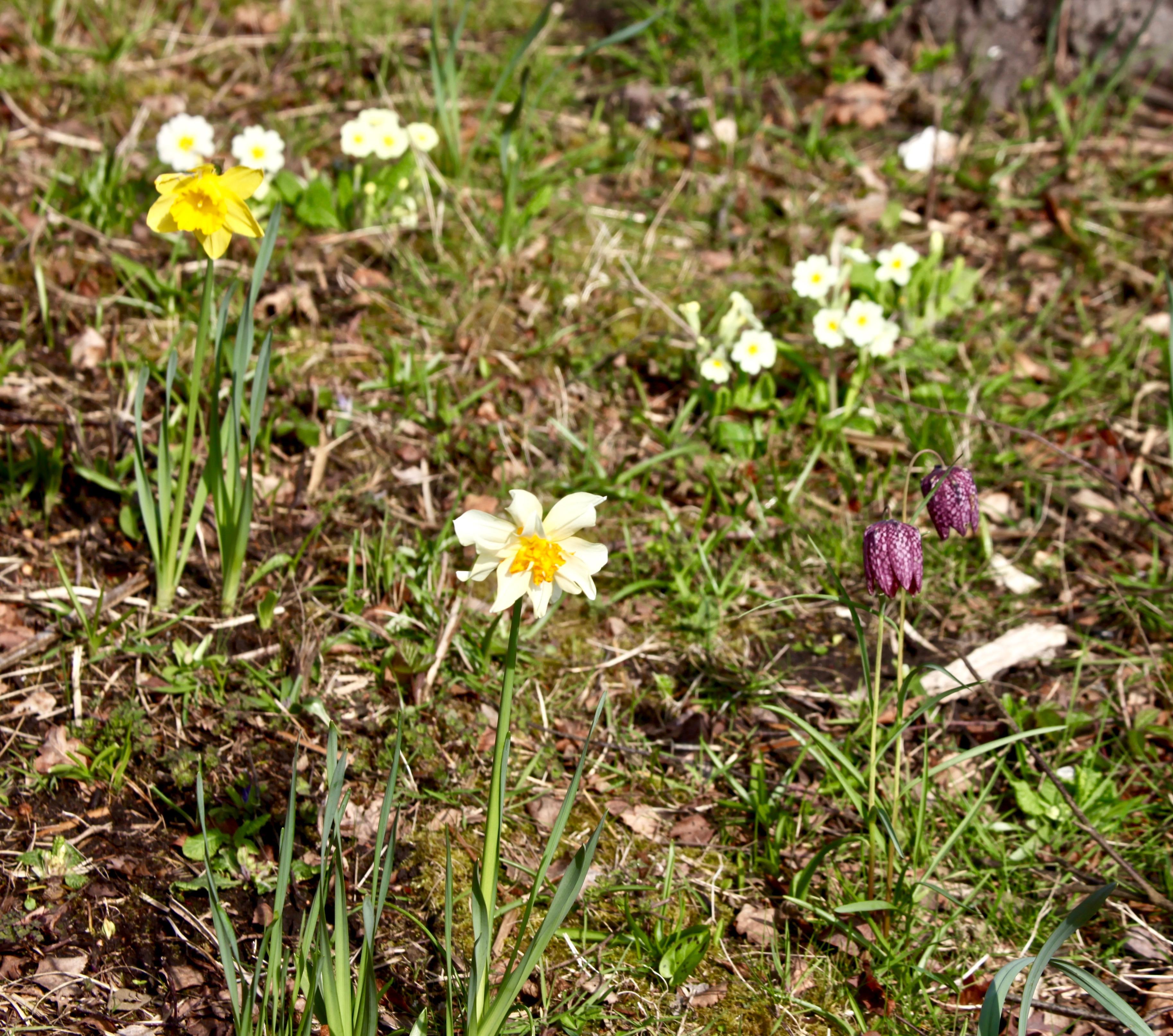 Snake's head fritillaries, daffodils, primroses