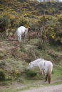 Ponies eating gorse 2