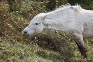 Pony eating bramble