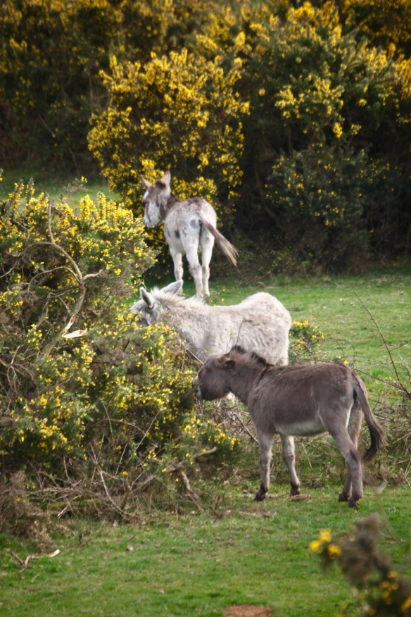 Donkeys eating gorse