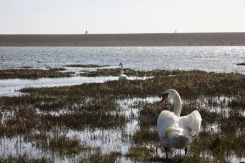 Swans and figure on spit