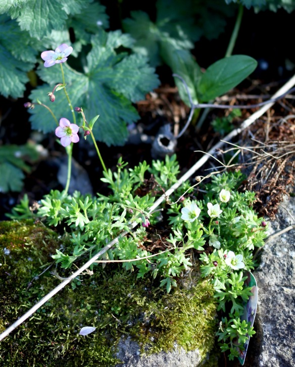 Saxifrages