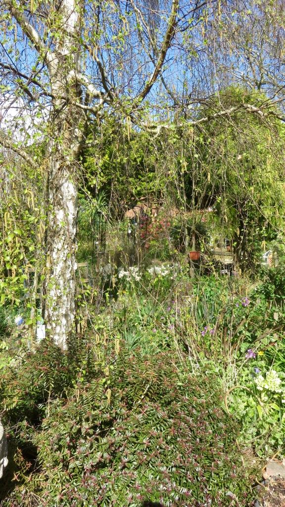 Garden view across Weeping Birch Bed