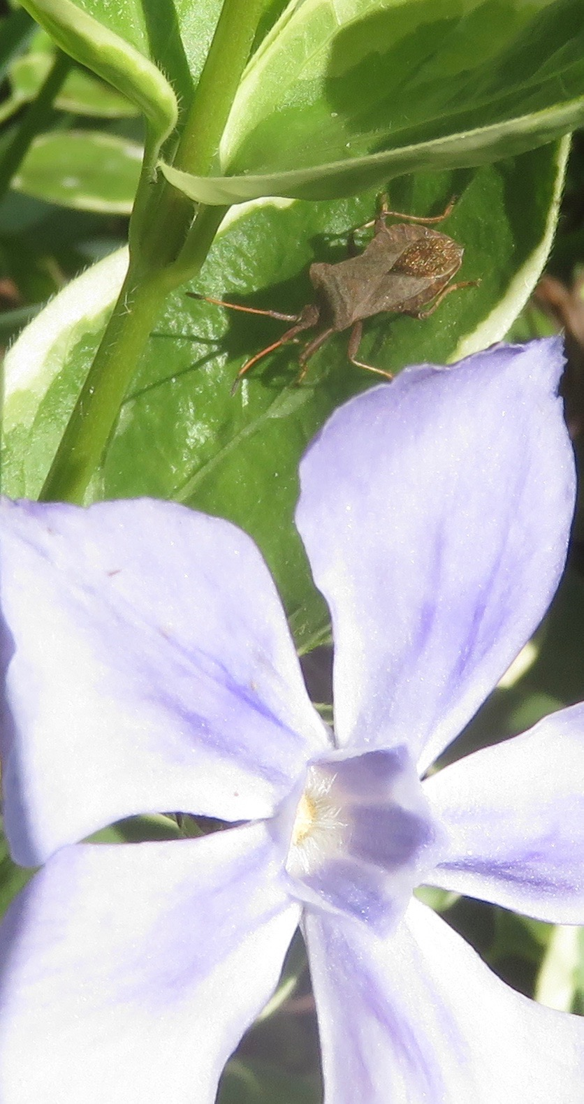 Shield bug on Vinca