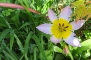 Tulipa saxatilis Lilac Wonder.