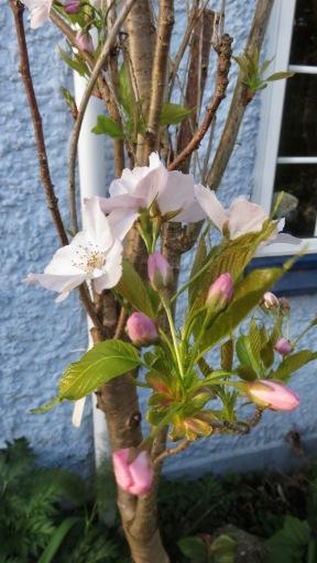 Prunus Amanogawa 2