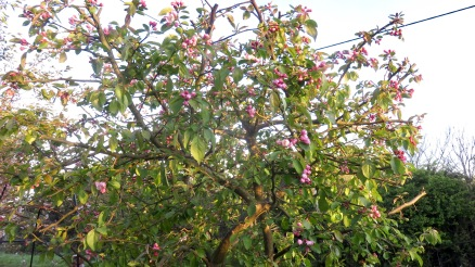 Crab Apple 1