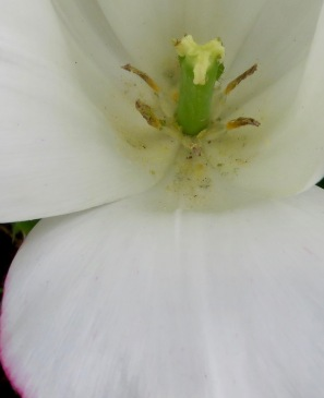 Bugs in tulip 1