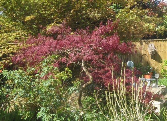 Japanese maple 4