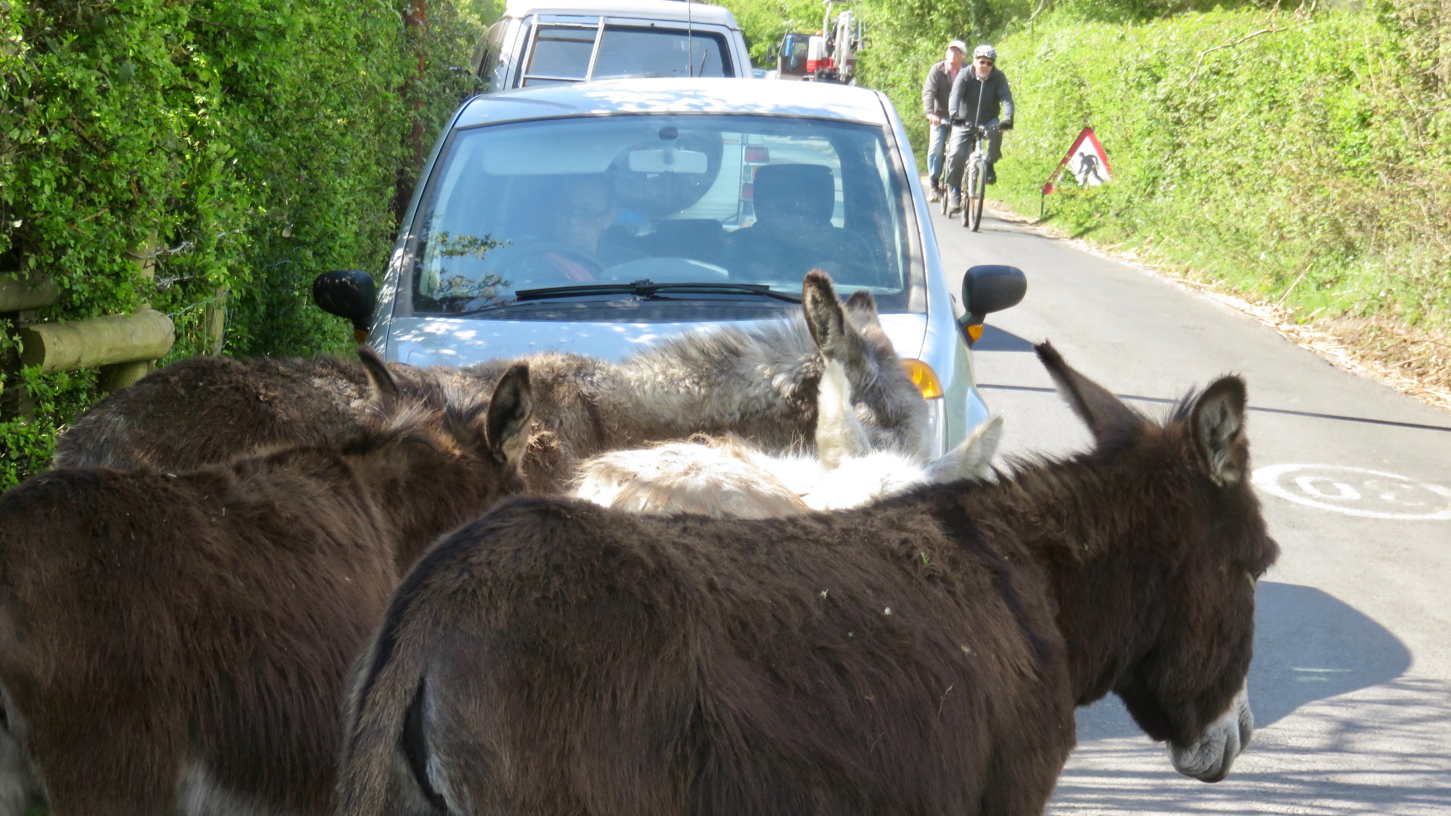 Donkeys on road 2