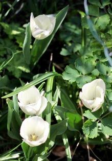 Tulips Diamond Jubilee 1
