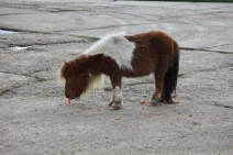 Shetland pony eating carrots 1