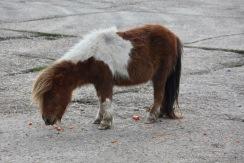 Shetland pony eating carrots 2