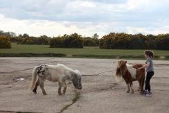 Child feeding Shetland pony 2