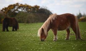 Shetland ponies 1