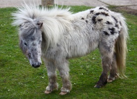 British spotted pony 1