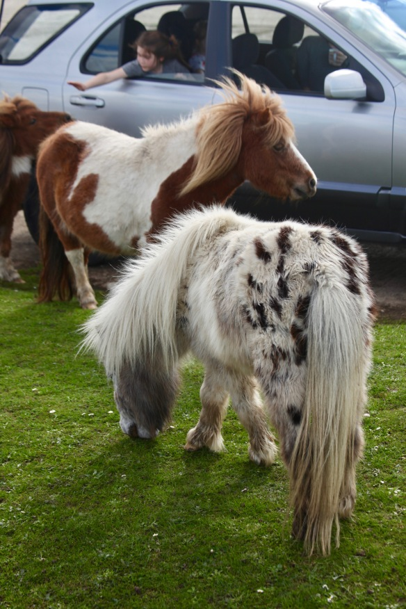 Child saying goodbye to Shetland ponies 1
