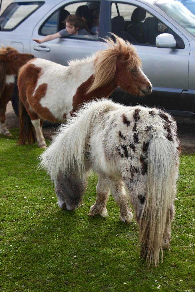 Child saying goodbye to Shetland ponies 1