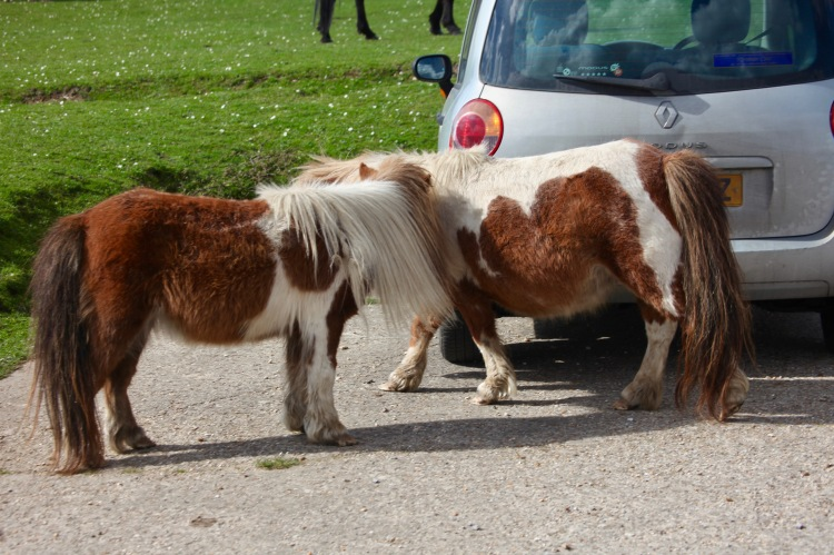 Shetland ponies by Modus