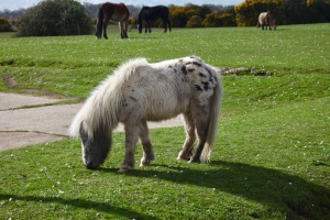 British spotted pony 2