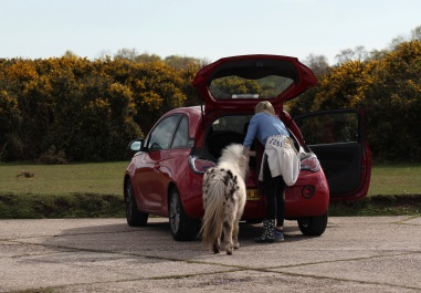 Shetland pony and woman changing shoes 1