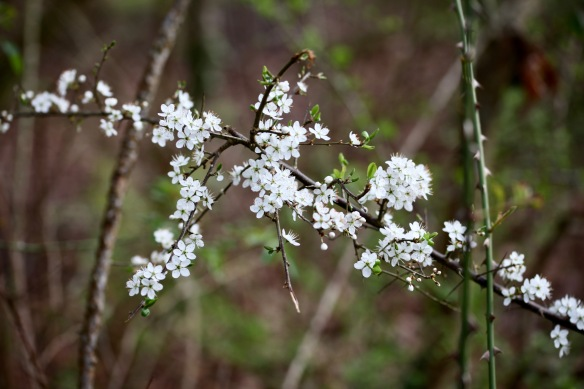 Blackthorn 1