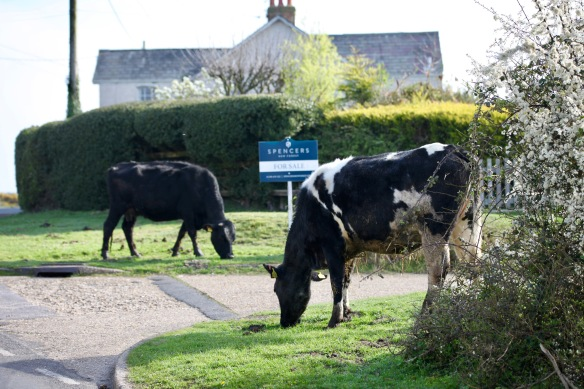 Cattle and blackthorn