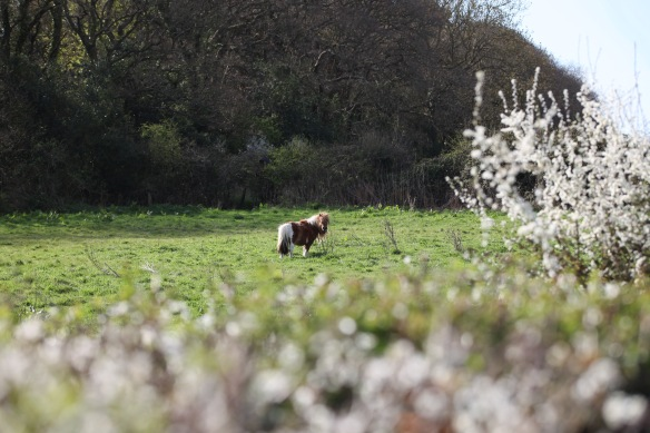 Shetland pony 1