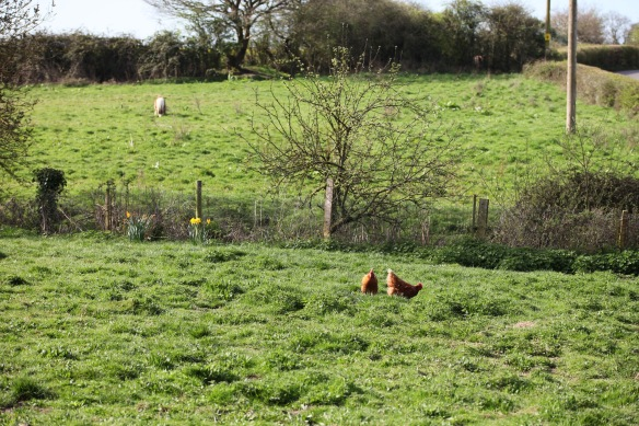 Chickens and Shetland pony 1