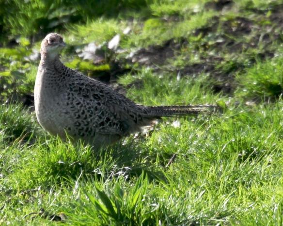 Pheasant hen