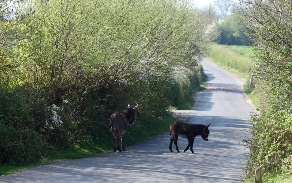 Donkey and foal on road 1