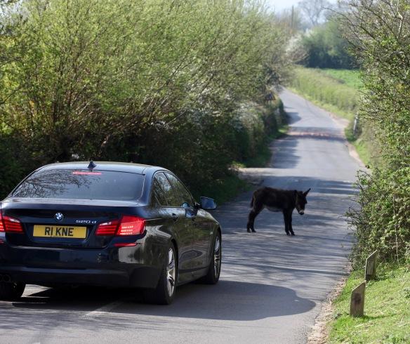 Donkey foal on road