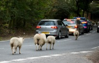 Sheep on road 4