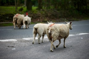 Sheep on road 5