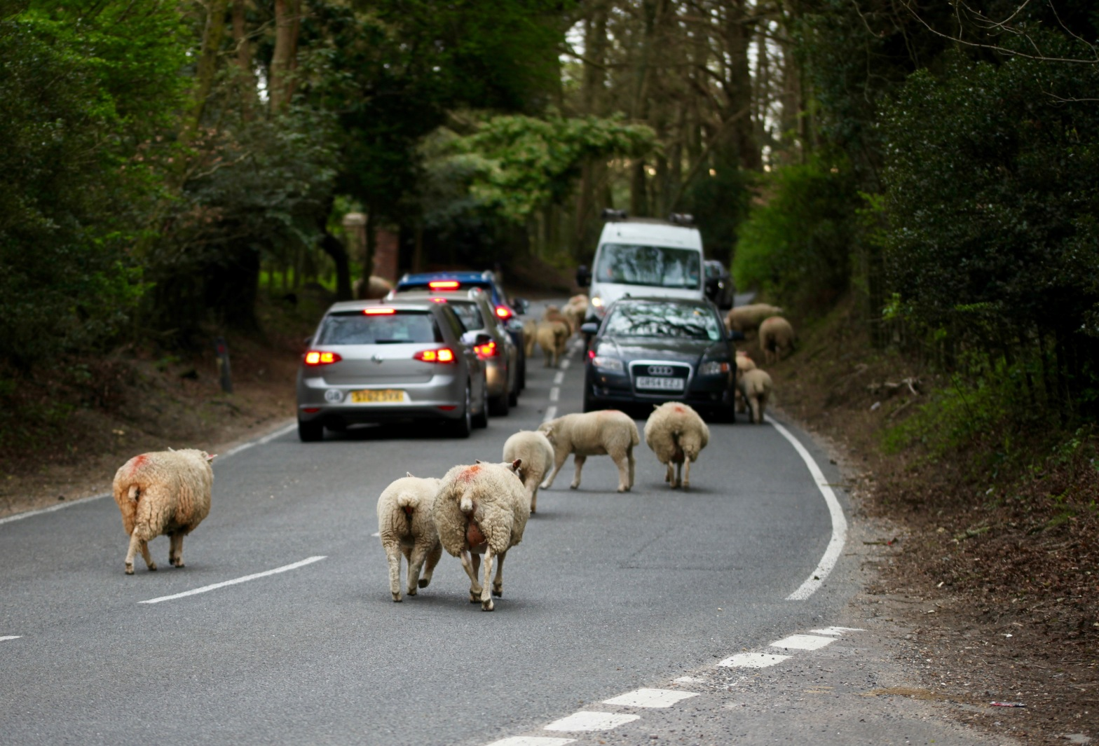 Sheep on road 6