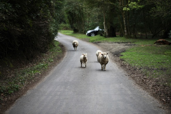 Sheep on road 8