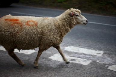 Sheep on road 9