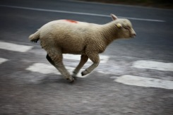 Sheep on road 10
