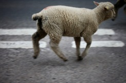 Sheep on road 11