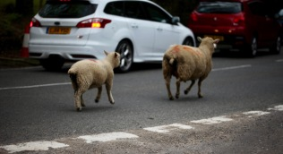 Sheep on road 12