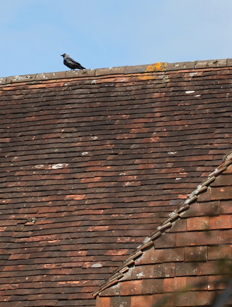 Jackdaw on rooftop 1