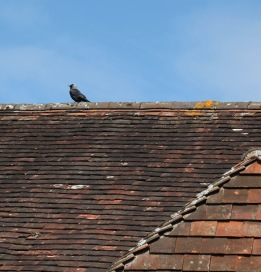 Jackdaw on rooftop 2