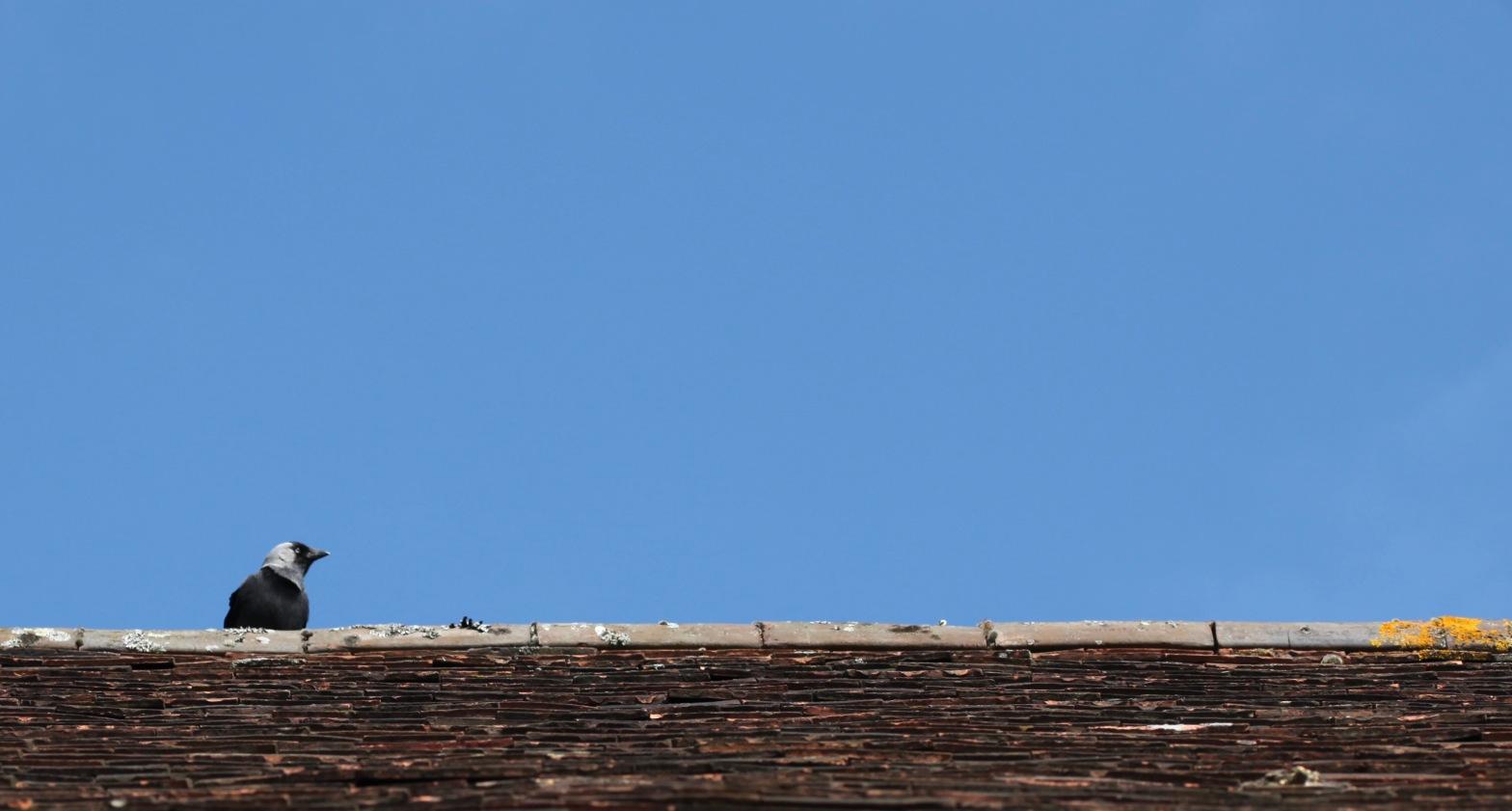 Jackdaw on rooftop 4