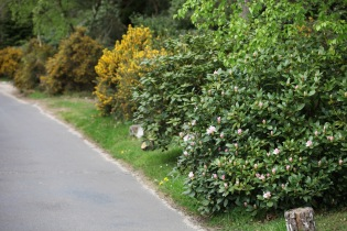 Rhododendron and gorse