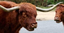 Highland cattle 5