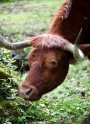 Highland cattle 6